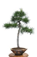 Bonsai tree. Miniature evergreen pine.