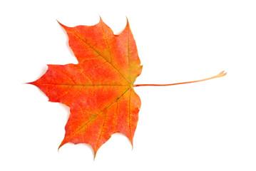 fall colored maple leaf