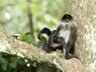 spider monkey male adult sitting in tree, costa rica