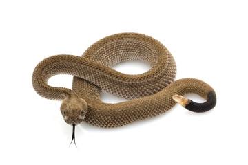 Patternless western diamondback rattlesnake