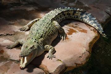 Crocodile Mouth Open