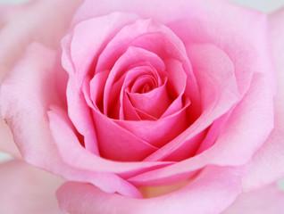 rose,blumenhintergrund