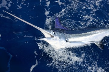Photo Blinds Fishing Beautiful white marlin real billfish sport fishing