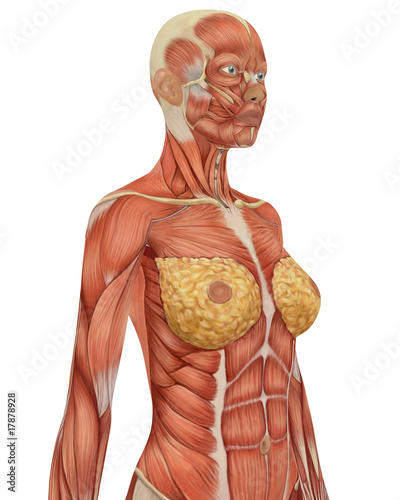 Female Muscular Anatomy Upper Body Side View Stock Photo And
