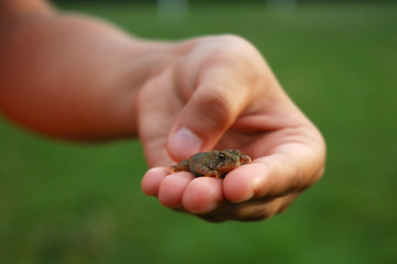 Baby Toad in a Child's Hand