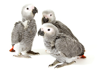 3 baby parrots isolated on white
