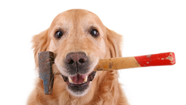 chien golden retriever avec un marteau