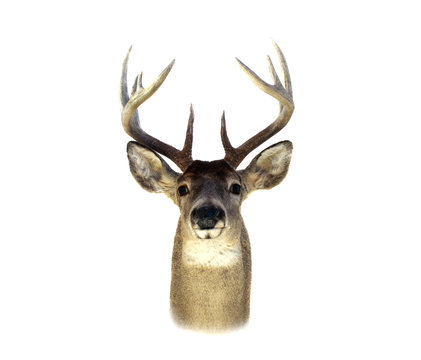 Whitetail Deer Head Isolated