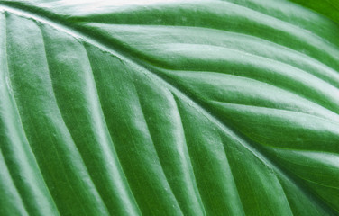 Green sheet of a plant