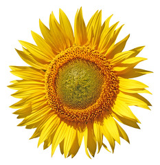 Sunflower on the White Background