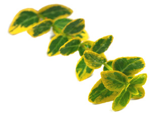 Herb twin with leaves isolated on white