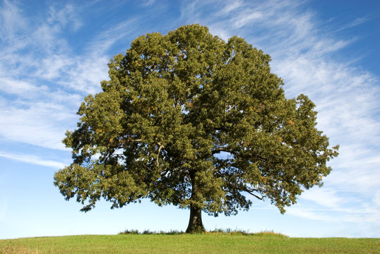 Large Oak Tree with Blue Sky