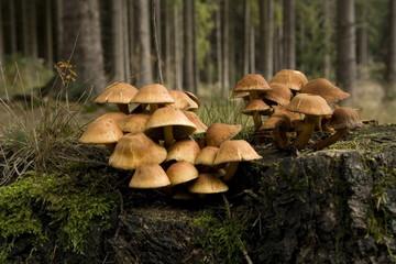 Pilz auf Baumstumpf