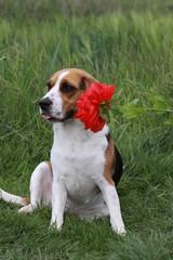 Beagle mit roter Blume