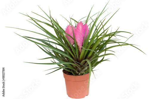 Tillantia vaso immagini e fotografie royalty free su for Tillandsia prezzo
