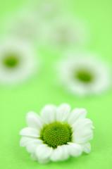 White Daisies on Green