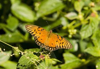 Gulf Fritillary Butterfly Sitting on Plant Leaf