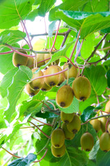 Big cluster of kiwi fruit on the tree