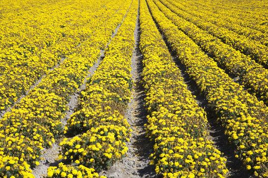Blütenmeer Lompoc USA
