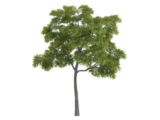 Black_walnut_(Juglans_nigra)
