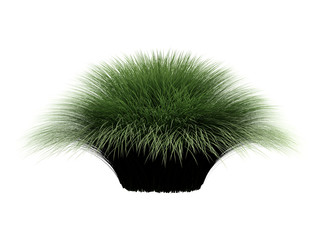 Deergrass_(Muhlenberga_rigens)