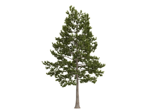 Loblolly_pine_(Pinus_taeda)