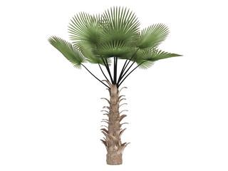 Windmill_palm_(Trachycarpus_fortunei)