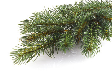 Christmas tree branch.