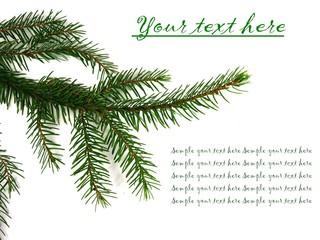 Pine tree branch on white background