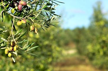 Foto op Aluminium Olijfboom Olives on branch.