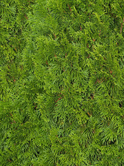 Close-up view of an evergreen cedar bush.