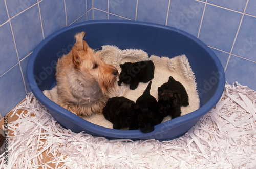 scottish terrier froment et ses chiots dans maternit photo libre de droits sur la banque d. Black Bedroom Furniture Sets. Home Design Ideas