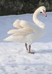 single swan stay on snow