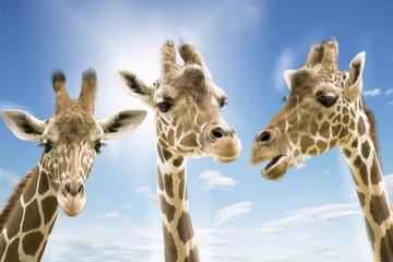 Giraffen wd273