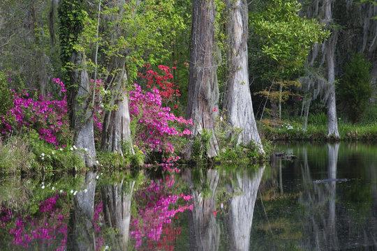 Live Oaks and colorful azaleas in Charleston South Carolina.