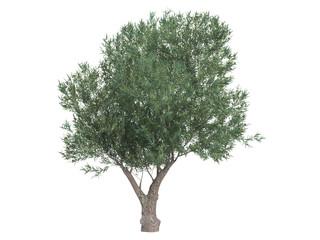 Olive_(Olea_europaea)