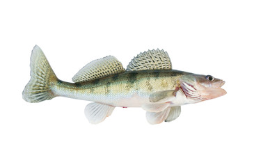 Live zander or pikeperch isolated