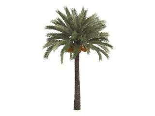 Date_palm_(Phoenix_dactylifera)