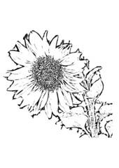 Sonnenblume als schwarzweiß Zeichnung