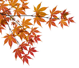 Branch with autumn yellow leaves on a white background