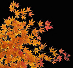 Branch with autumn yellow leaves on a black background..
