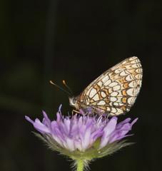 Fritillary butterfly sitting on flower.