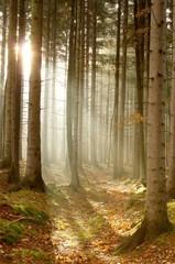 Keuken foto achterwand Bos in mist Light of the rising sun enters the beautiful coniferous forest
