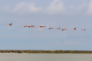 Flying Flamingos over camargue, france