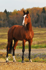 The bay horse in autumn