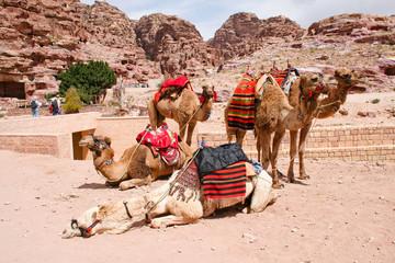Kamele in der antiken Stadt Petra, Jordanien