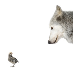 Wolf looking at a chick in front of white background