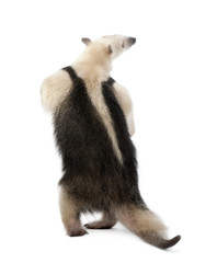 Rear view of Collared Anteater in front of white background