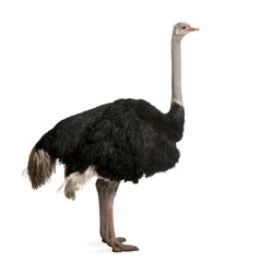Fond de hotte en verre imprimé Autruche Male ostrich standing in front of a white background