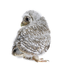 Baby Little Owl, 4 weeks old, in front of white background
